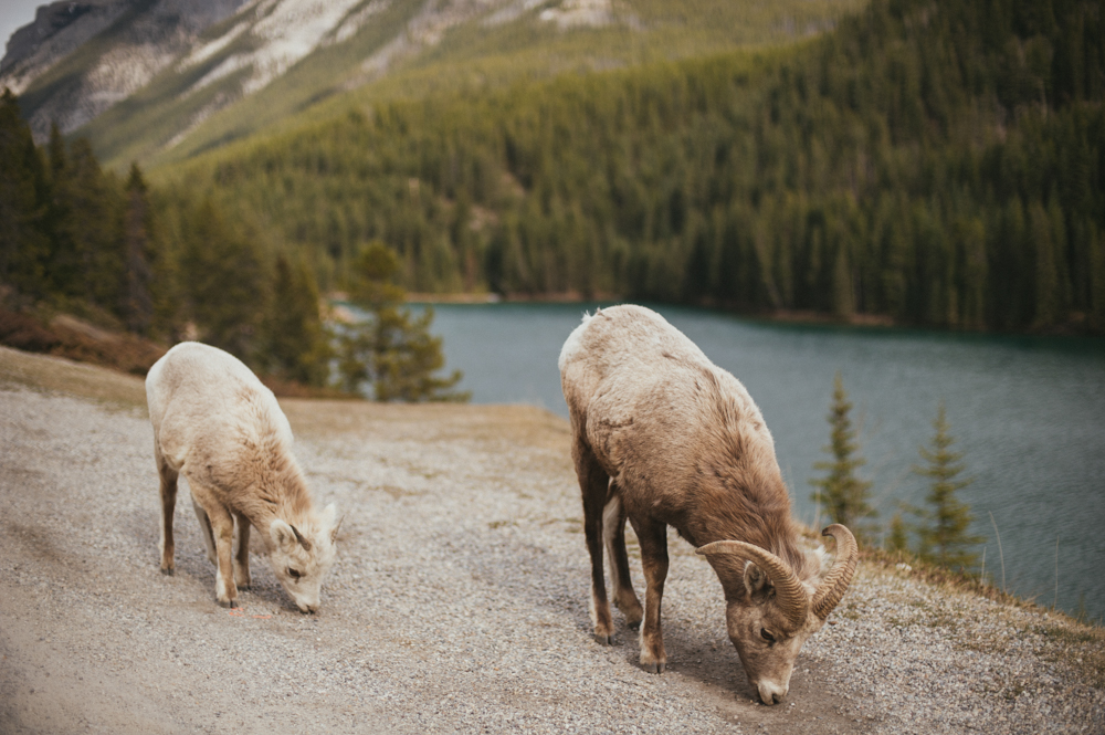 Big horn sheep in Banff National Park near Two Jack Lake