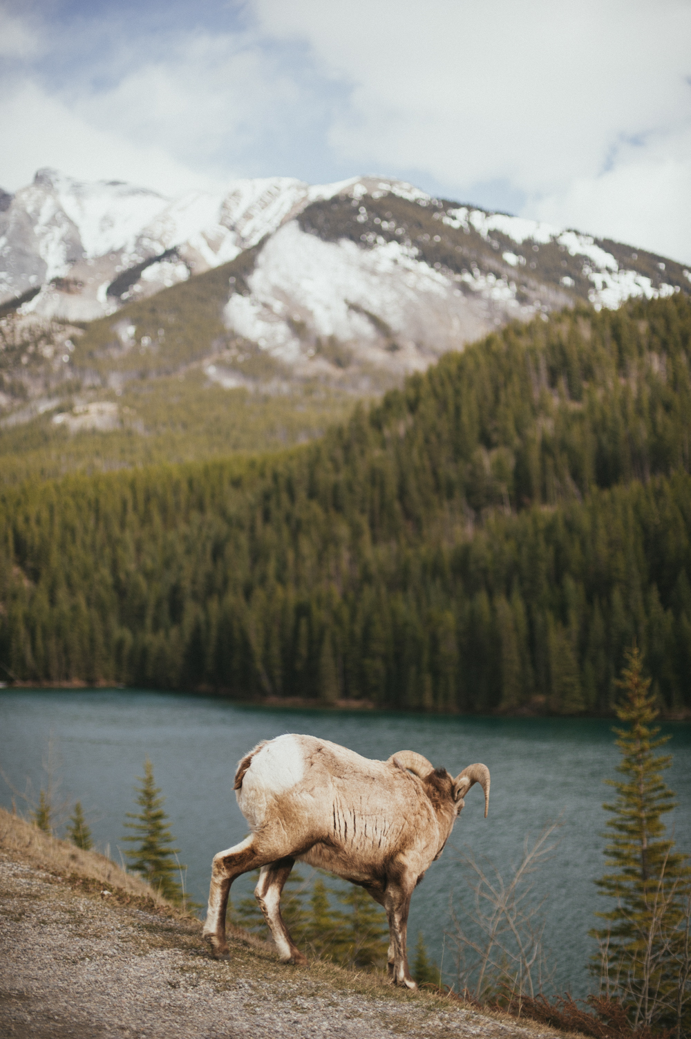 Big horn sheep at Two Jack Lake, Banff