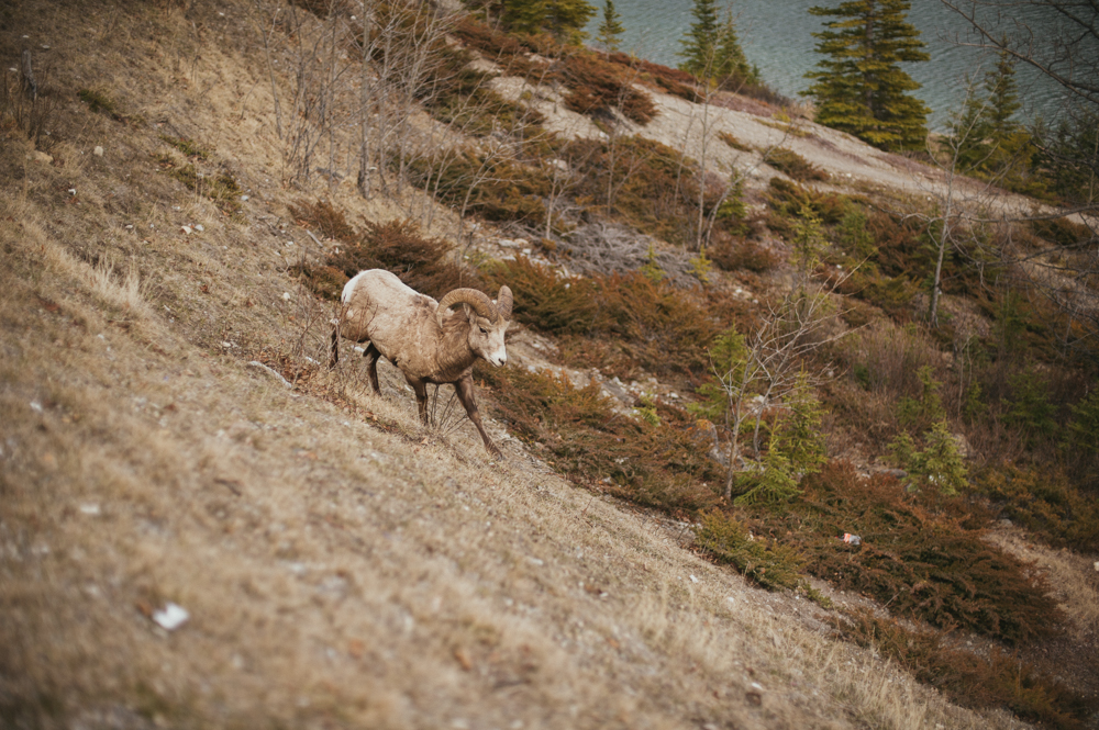 Big horn sheep in Alberta
