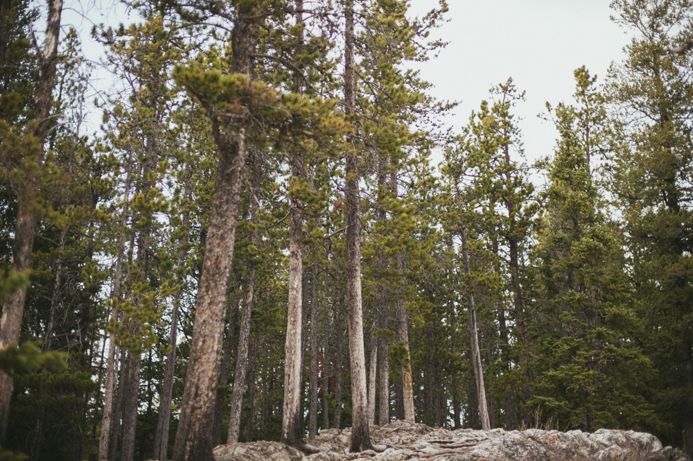Jack pines in Alberta