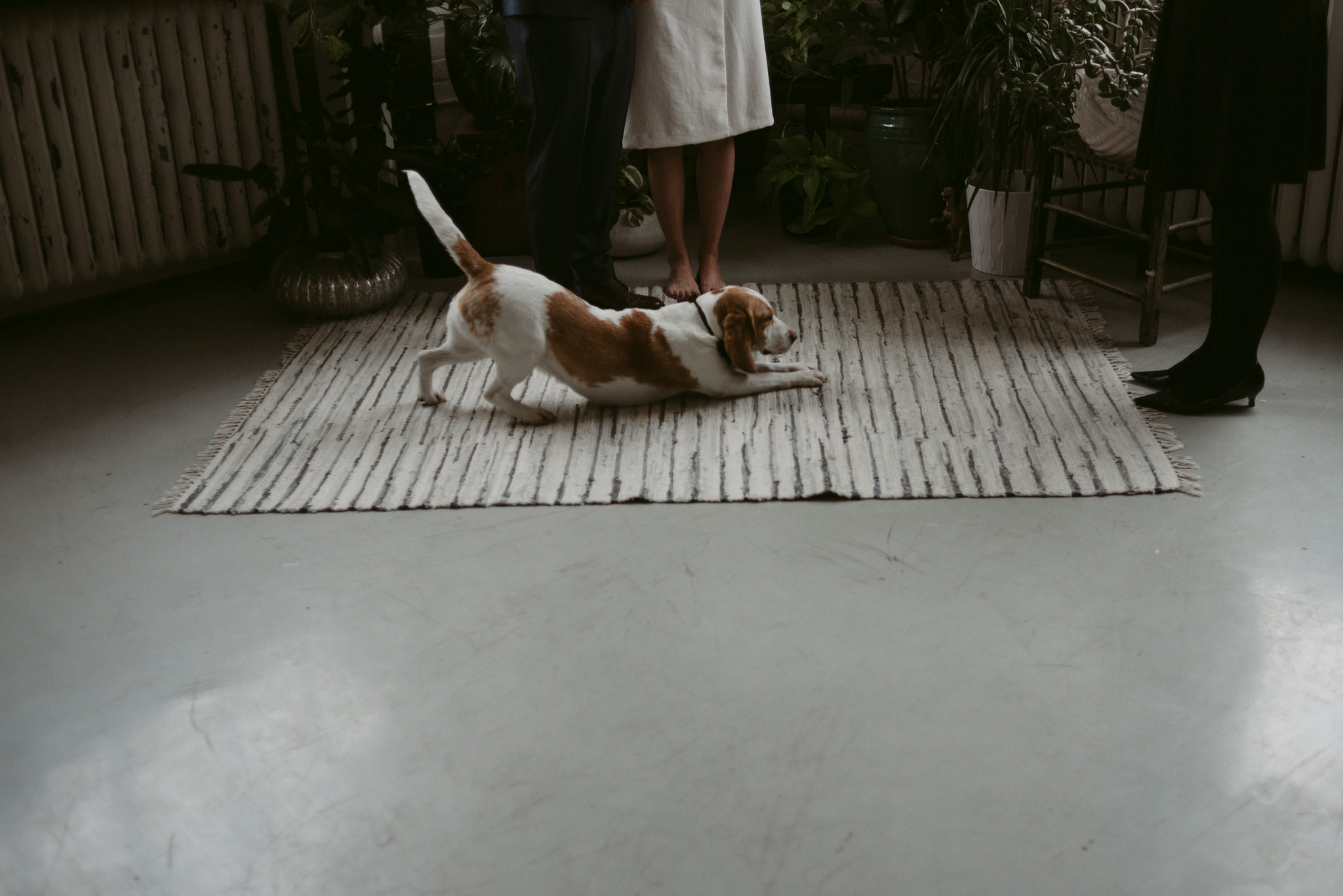 Dog stretching on carpet during wedding ceremony in loft