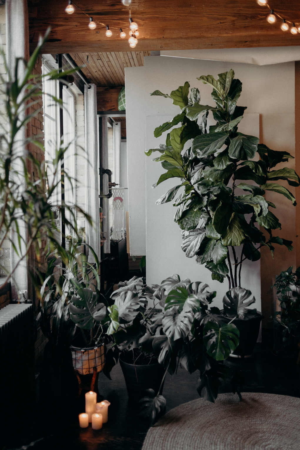huge fiddle fig tree in old loft apartment